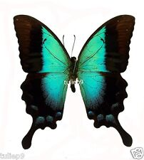 Papilio Pericles (m) - Wetar,Timor Island, Indonesia