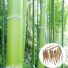 100pcs Moso Bambusa Bamboo Seeds Courtyard Phyllostachys aureosulcata Pubescens