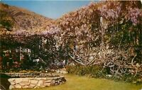 Chrome Postcard CA L130 Wisteria Worlds Largest Flowering Plant Sierra Madre