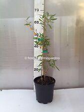 Des plantes Goji JAUNE - Lycium Barbarum Ambre Sweet Goji - Sweet