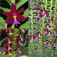 """Orchids Plants Trichoglottis Brachiata Sp. Flower size Rare plant 20"""" Long"""