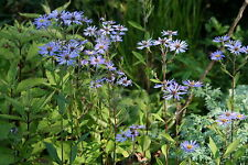 Aster macrophyllus 'Twilight' - 1 PLANT - FREE P/P WHEN YOU BUY 3+ ITEMS