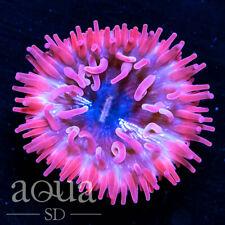 Asd - 003 Pink Dynamite Waratah - Wysiwyg - Aqua Sd Live Coral Frag