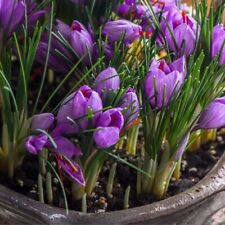 5PCS Bombillas Crocus sativus L púrpura reliquia azafrán Crocus planta
