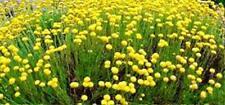 Olivenkraut 150 Sa. Santolina Heiligenkraut mediterran Kräutergarten Staude gelb