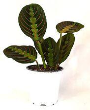 "Red Prayer Plant - Maranta - Easy to Grow House Plant - 4"" Pot Gift Holiday Rare"