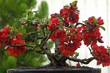 MEMBRILLO JAPONES- 60 Semillas- Bonsai - Seeds
