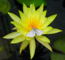 Water Lily Yellow Color Hardy Tuber Nymphaea Leuang baang pra Me012