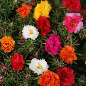Moss rose simple mix 25 seeds