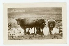 Highland Cattle refreshing SCOTLAND Real Photo Postcard 3122
