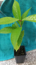 Malay Apple -Tropical Fruit Trees