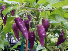 Condor's Beak Chilli - An Elongated, Exotic, Rare & Uncommon Habanero Pepper!!!