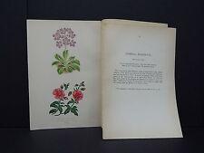Botanicals Alpine Plants Wooster 1874 #23 Primula Marginata