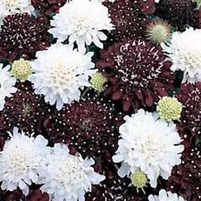25+  SCABIOSA NIGHT & DAY, aka PINCUSHION / FRAGRANT, DEER RESIST FLOWER SEEDS