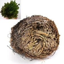 Live Resurrection Plant Rose of Jericho Dinosaur Plant Air Fern Spike Moss Call