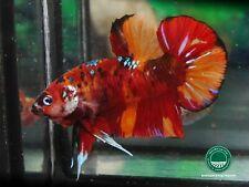 "Nemo KOI Giant HMPK male betta #0584 / 3.5 mo / body 2.4"" / nice form / big fin"
