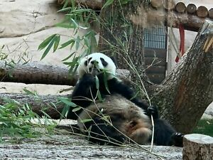 Photo Picture Moscow Zoo Panda Bear