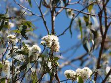 Grey Ironbark Seed Large Native Evergreen Coastal Tree Koala Food Slow Grower