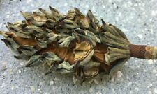 36+ Beautiful Dried Southern Magnolia Seed Pods - Potpourri, Art Crafts & Deco!