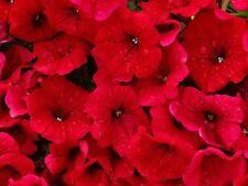 500 Fire Chief RED PETUNIA Nana Compacta Sun Annual AAS Winner Flower Seeds