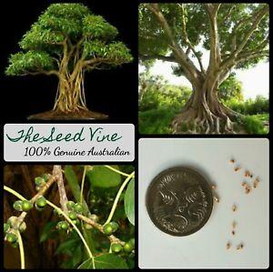 50+ SACRED FIG TREE SEEDS (Ficus religiosa) BONSAI Bodhi Indian Hindu Medicinal