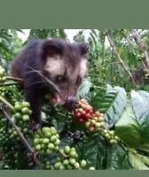 250 gram  kopi luwak  gayo aceh 100 % Wild Civet Whole Beans  Coffee Roasted