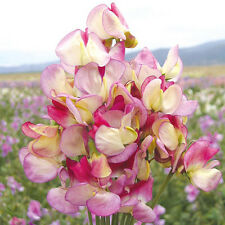 FLOWER SWEET PEA SPANISH DANCER 25 FINEST SEEDS