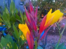 New listing 3 -Striped Beauty Yellow - Red canna- Orange& Yellow Water Canna Lily Pond Plant