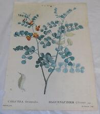 early 1800s Floral COLOR Print///BLOOD-SPOTTED BLADDER SENNA