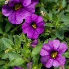 50 Calibrachoa Aloha Purple Sky Live Plants Plugs Garden Diy Planters D10002