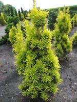 Taxus baccata fastigiata aureomarginata - gelbe Säuleneibe