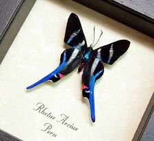 Real Framed Rhetus Arcius Long Tailed Swallowtail Butterfly 354