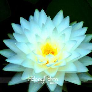 Big Snow White Seeds Plants Lotus Flower Nelumbo Pond Timelimit 3pcs FREE SHIP