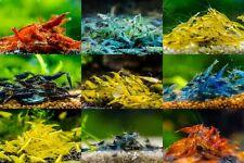 8+2 Adult Neocaridina Candy Skittle Live Shrimp Mixed Colors Aquarium