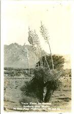 Las Cruces, NM Yucca Plants in Bloom off Highways 70 & 80 RPPC