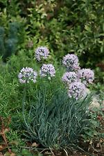 Berglauch - 60 Samen Allium  - gefährdete Pflanzenart !!! Fleisig anpflanzen :)