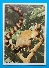 Figurina Panini-ANIMALI DI TUTTO IL MONDO 1965-n.52-CATTA-rec