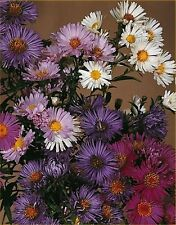 6 NEW YORK AND NEW ENGLAND ASTERS MIXED MEDIUM PLUG PLANTS - Hardy Perennial