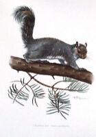 Impression Affiche Histoire Naturelle L'Ecureuil Gris Sciurus Carolinensis