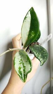 Super Rare Hoya AH-074 Silver Newly Rooted Starter Plant 🌱 Beautiful! HALF MOON