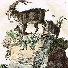 Wilhelm's Naturgesehichte - Hand Colored Engraving -1809- FIVE GOATS ON ROCK