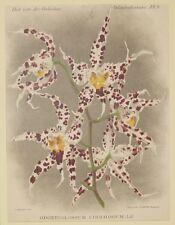 COGNIAUX GOOSSENS ODONTOGLOSSUM BREVIFOLIUM ORCHIDEA ORCHIDS ORCHIDEES 1800