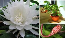 Epiphyllum Oxypetalum,Queen Of The Night,1 Live Plant In Pot ,Hard To Find.