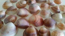 Mediterranean Quahog Clam Sea Shell Lot 30pcs White Brown