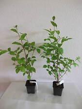 Stewartia pseudocamellia Japanische Scheinkamelie Pflanze 30 cm Rarität