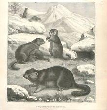 Marmotte de l'Himalaya Marmota himalayana Tian Shan Tibet Chine GRAVURE 1886