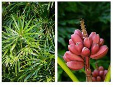zwei schöne, interessante Zimmer-Palmen: Strahlen-Palme und Rosa Zwerg-Banane