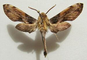 Moth Sphingidae Theretra orpheus malgassica