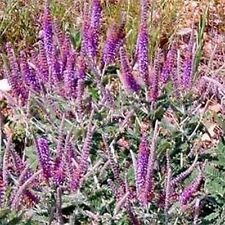 Leadplant (Amorpha Canescens)- 50 seeds