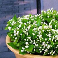 20 Samen Arabischer Jasmin Jusminum Weiße Farbe Strauch J7V0 Blumensamen--M Y6Q4